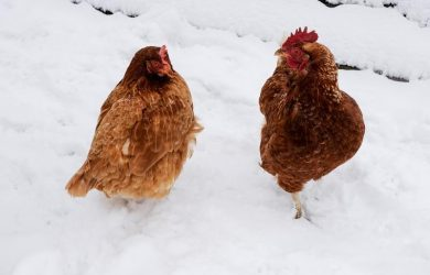 kippen houden in de winter