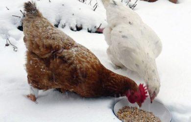 kippen voeren in de winter