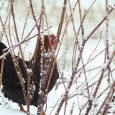 kippen winterhard